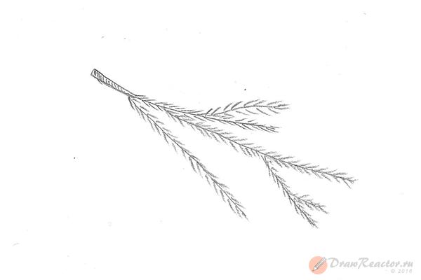Как нарисовать ветку ели. Шаг 4.