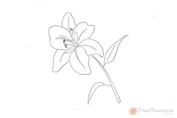 Рисунок лилии. Шаг 5.
